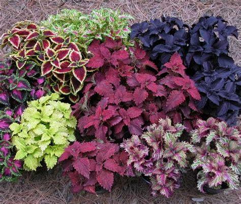 Tanaman Hias Mawar Segala Warna cara menumbuhkan tanaman hias coleus bibitbunga