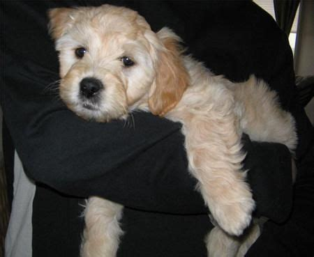 goldendoodle puppy vs an cube 29 best images about puppy on poodles