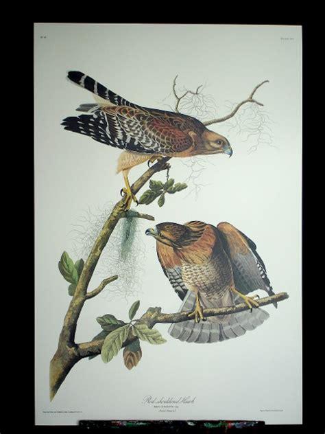 princeton audubon red shouldered hawk plate 56
