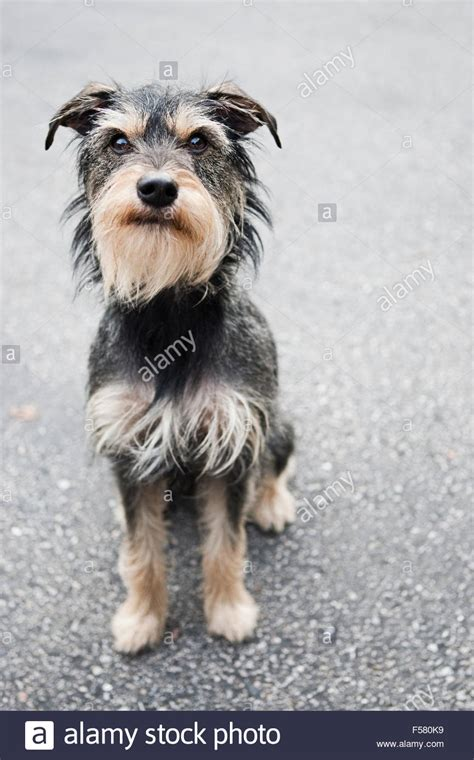 wire haired terrier yorkie mix great wire haired terrier yorkie mix images electrical and wiring diagram ideas
