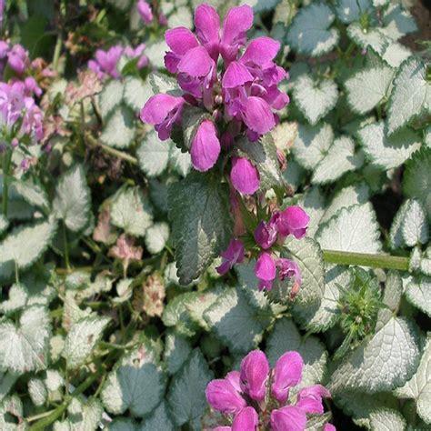 plant heat l home depot onlineplantcenter 1 gal purple spotted deadnettle plant