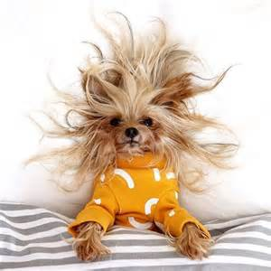 yorkie pics with hair best 20 yorkie hairstyles ideas on pinterest