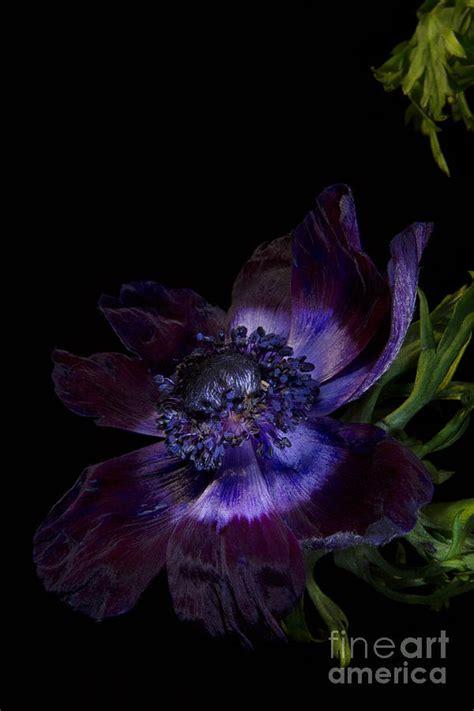 anemone bordeaux anemone de caen bordeaux photograph by ann garrett