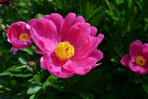 fun facts about peonies frankie flowers grow eat live outdoors your garden expert