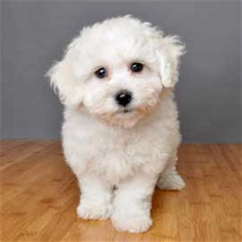 bichon frise pomeranian breed info justpuppies net