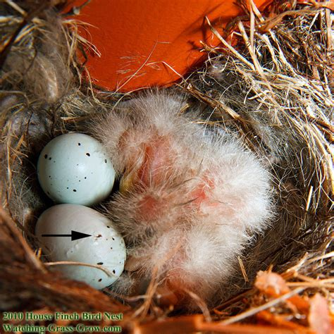 house finch eggs pictures house finches nest again in 2010 live webcam