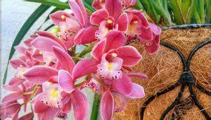6 cara menanam anggrek dengan sabut kelapa ilmubudidaya com