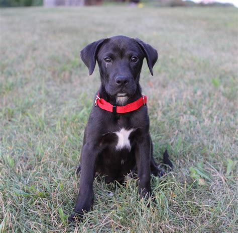 black lab boxer mix puppy black lab and boxer mix puppies boxer mix puppies boxer mix
