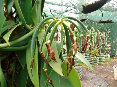 daleys fruit tree blog vanilla vines for sale an orchid with a rich history