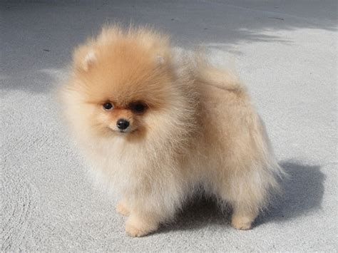 Pomeranian Puppies For Sale In Ny Puppies Animals Pomeranians