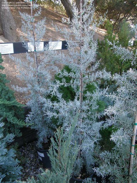 decorated blue arizona cypress plantfiles pictures arizona cypress smooth cypress blue cupressus glabra by palmbob