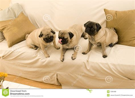 three pugs three pugs hanging out royalty free stock photos image 7280488