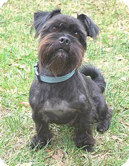 scottish terrier shih tzu mix barkley adopted mocksville nc scottie scottish terrier shih tzu mix