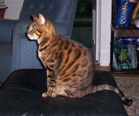 Bengal Cats: Do They Make Good Pets?   Coops & Cages Coops