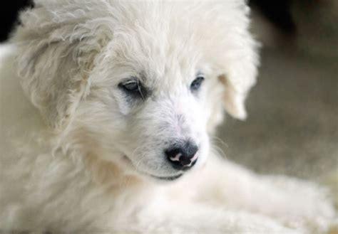 kuvasz puppies for sale kuvasz puppies for sale akc puppyfinder