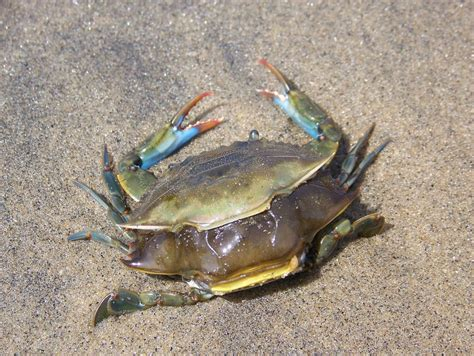 How Do Crabs Shed Their Shell by Csi New York Harbor The Mystery Of Dead Crabs