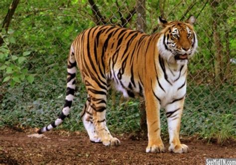 losing balance in hind legs 22 amazing facts about a bengal tiger