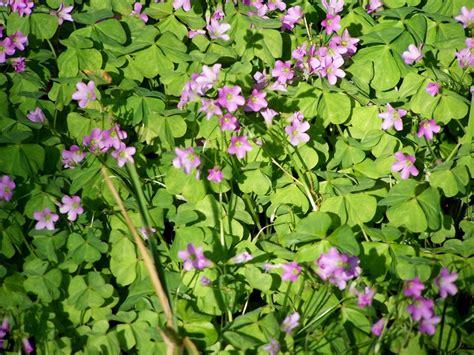 purple 3 leaf clover by flcrackergirl photo weather underground