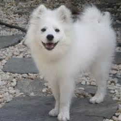 Dog Pictures: American Eskimo Dog