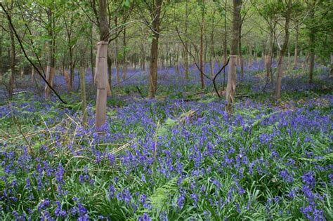woodland forest plants and trees bluebells woodland 13