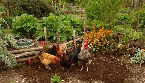 keeping free range chickens in your backyard permaculture hobby farms