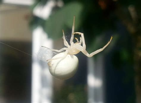 albino spider spotted  garden  house  barming