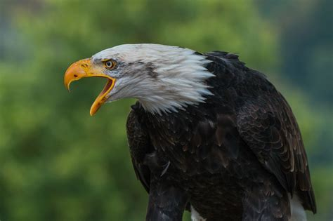 astounding eagle images pexels  stock
