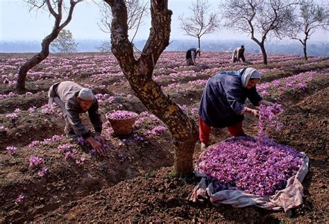 coltivazione zafferano in vaso come coltivare zafferano aromatiche consigli per la