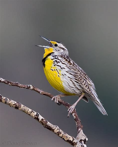 new mexico birds among the grasses western meadowlark