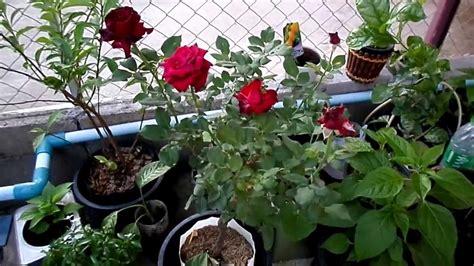 home garden   red rose plant    member