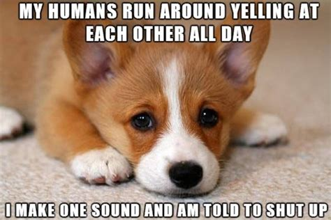 Corgi Puppy Meme - sad corgi meme doesn t understand why his voice is always