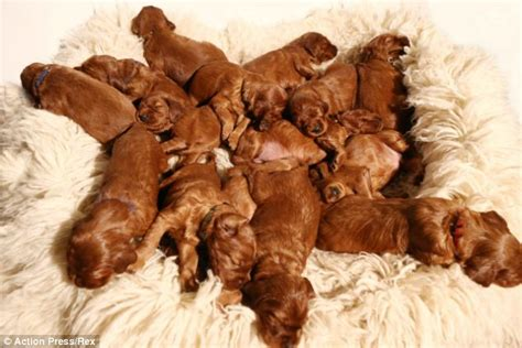 my gave birth to a dead puppy time gives birth to 17 setter puppies daily mail