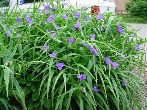 spiderwort plant thankfully god still uses foolish