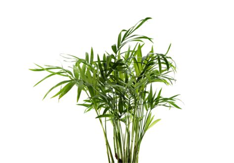 tipi di palma da giardino piante palme areca catechu chrysalidocarpus lutescens