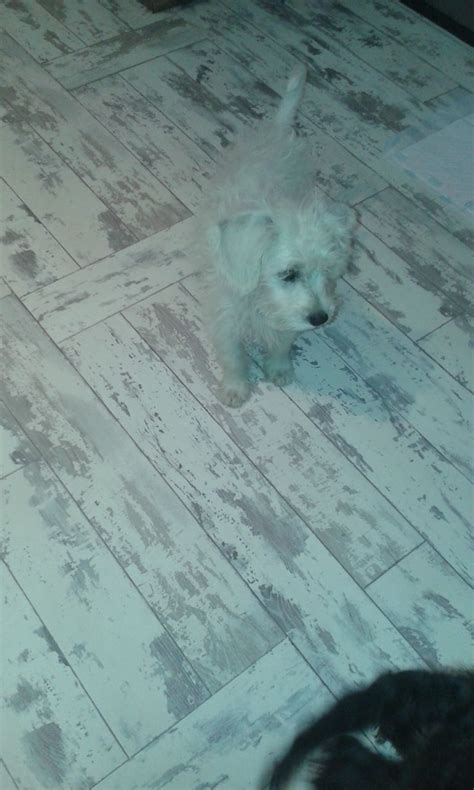 schnoodle puppies for sale only 2 remaining malpas cheshire f1 schnoodles only one white boy remaining brighouse