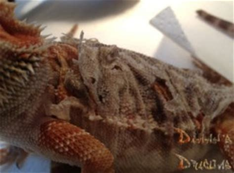 What To Do When Your Bearded Is Shedding by Care Sheet Danny S Dragons