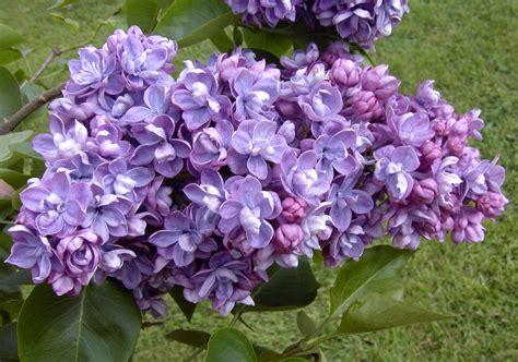 fiori lilla serenella syringa vulgaris floricoltura varanese