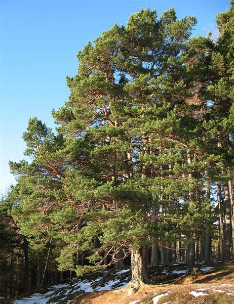 scotch pine trees scots pine