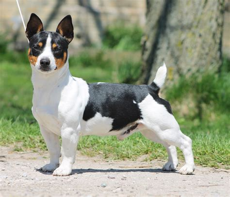 teddy roosevelt terrier puppies for sale flowrider teddy roosevelt terriers breed standard history