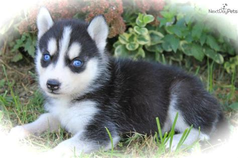 baby puppies for sale baby husky puppies for sale car interior design