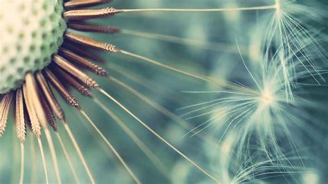 dandelion background dandelion wallpapers best wallpapers