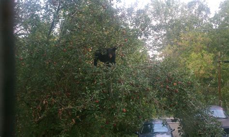 apple tree in my backyard just a bear in the apple tree in my yard reddit com
