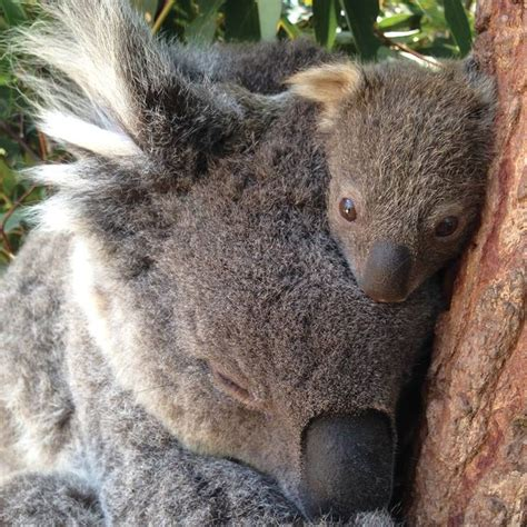 female koala pouch 14 best images about marsupials on pinterest parks