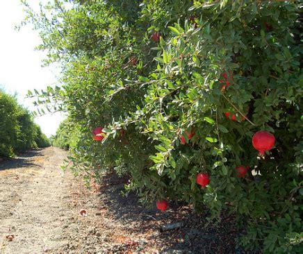 Comment Planter Un Grenadier by Ou Planter Un Grenadier