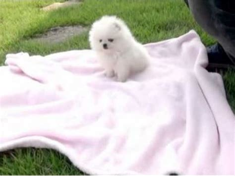pomeranian puppies for sale in seattle pomeranian puppies for sale animals seattle washington announcement 67484