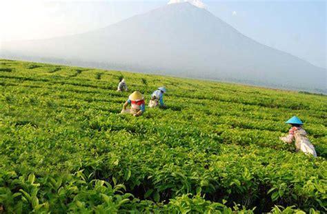 Teh Indonesia kayu aro perkebunan teh terluas di dunia dan tertua di indonesia harianpost