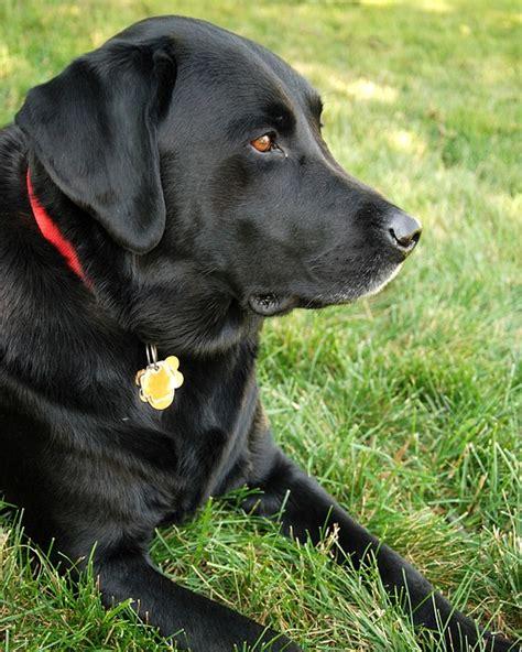 free black lab puppies free photo labrador retriever black lab free image on pixabay 862936