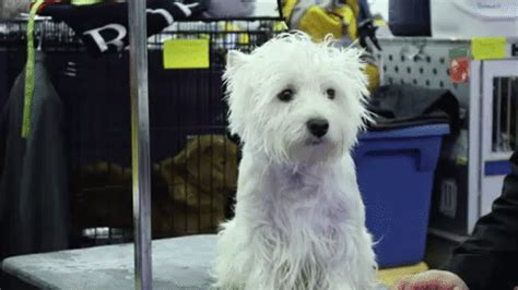 sad puppy gif westminster kennel club gif find on giphy
