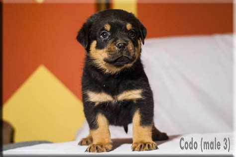 rottweiler puppies rottweiler puppies for sale by german rottweiler breeder