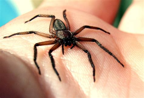 eye pattern of brown recluse spider flickr photo sharing